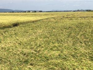 稲刈りの季節です!